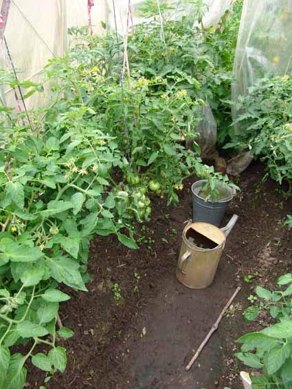 Фитофтороз, или бурая гниль томатов Это грибковое заболевание - основной бич томатов, который поражает их в теплице и...
