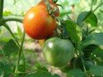 """Помидоры в низких парниках Я выращиваю помидоры в течение ряда лет, но мой парник типа  """"Урожай """" пришел в негодность..."""
