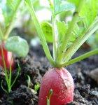 Повторные летние посевы На освободившихся от ранних культур площадях сейчас можно провести повторные посевы редиса...