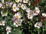 Анемона, ветренница (Anemone) - сем. лютиковые (Ranunculaceae).