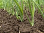 Посев семян лука-чернушки 1-5 февраля.  Пикировка рассады в теплицу 1-5 марта.  Сбор урожая 20-25 апреля.